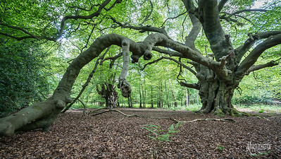 An ancient beech near Flagstaff Hill, it is of interest as one of the branches may have rooted back into the ground to form a new tree