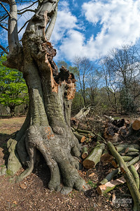 A common fate of the lapsed Beech pollards in Epping Forest