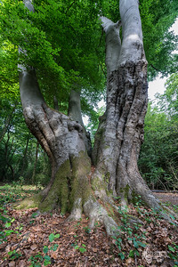 Twinned beech at North Long Hills