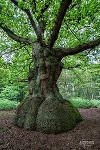 An unusually shaped oak at Rushey Plain