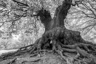 BW12 Ancient Oak of Barn Hoppitt
