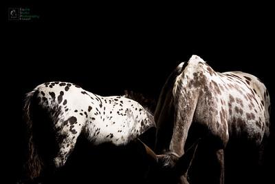 Appaloosa Horses