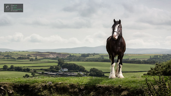 Shire Horse Outdoors