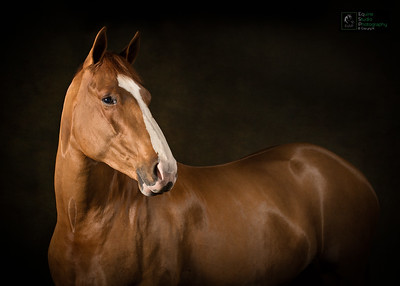 Horse Indoor Portrait