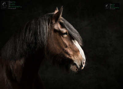 Shire Horse Portrait