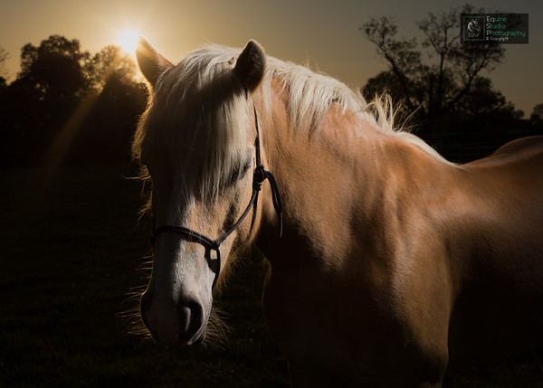 Haflinger Horse at Sunset 2