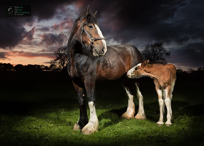 Shire Horse & Foal at Sunset