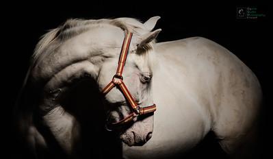 PRE Horse Portrait