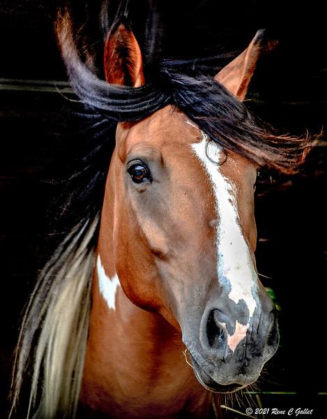 Quarter Horse 04