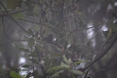 Rufous Wren