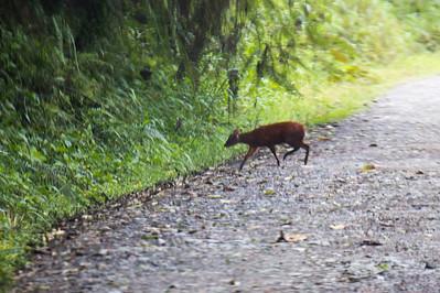 Red Brocket-Deer