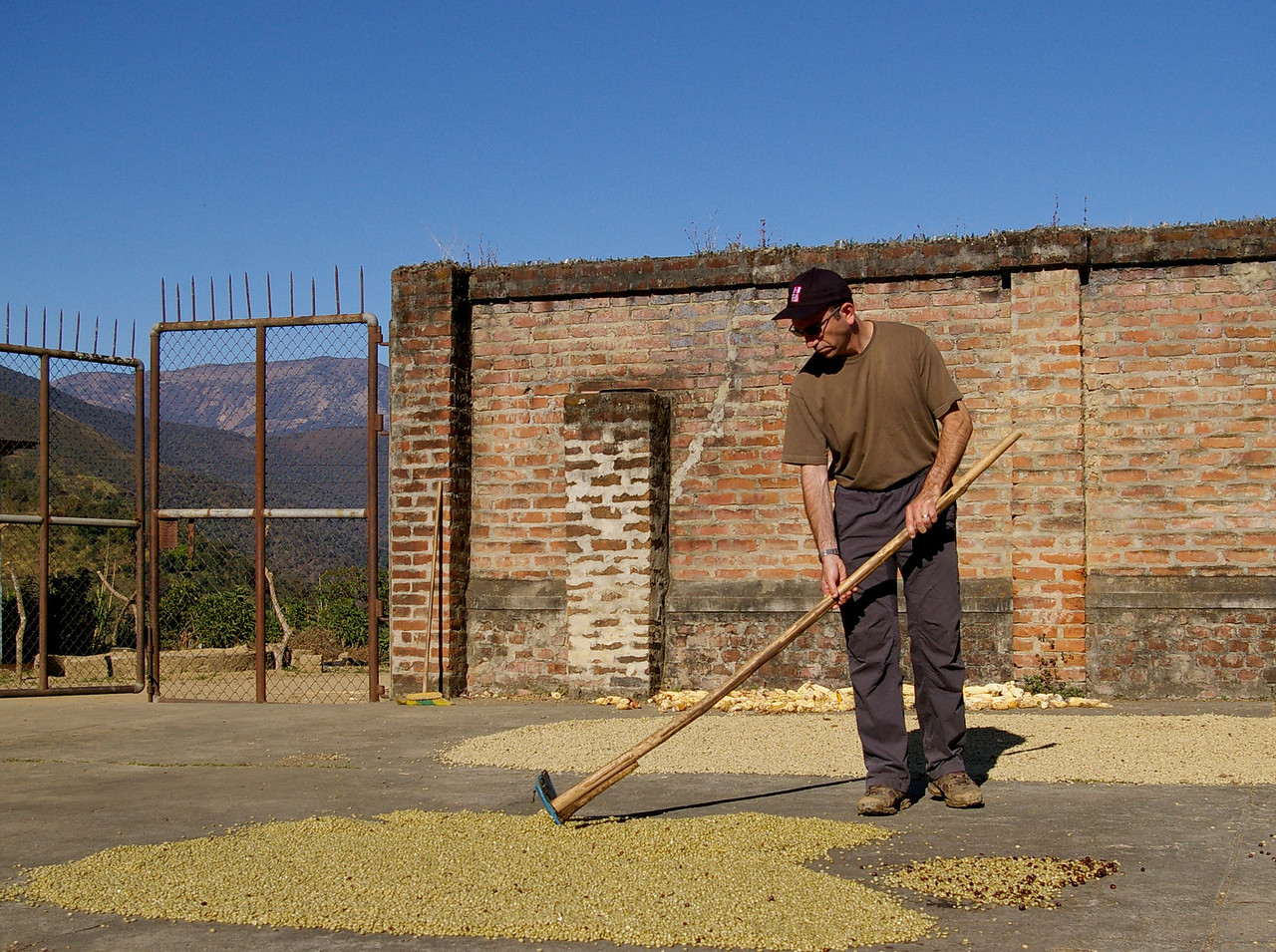 Adam rakes the beans out to dry