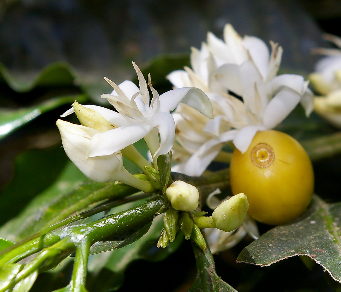 A ripe yellow berry