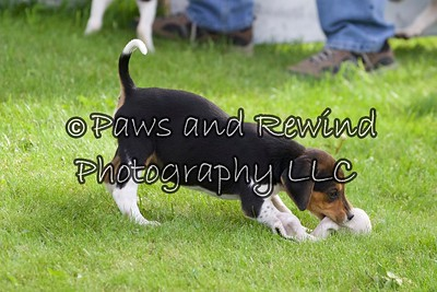 Amwell Valley Hounds Puppies