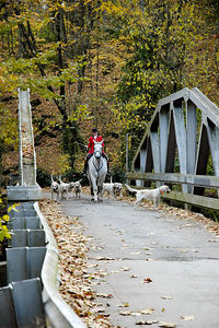 Huntman and foxhounds on bridge heading to the first hunt of the season.  This is following the Blessing of the Hounds event at the Iroquois Hunt Club in Lexington, Kentucky, USA.