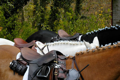 Decorated manes of a line of horses standing together at the Blessing of the Hounds event at the Iroquios Hunt Club in Lexington, Kentucky USA.