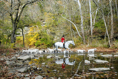 Huntman and foxhounds crossing Boone's Creek in the Bluegrass region of Kentucky, USA for the first hunt of the season following the Blessing of the Hounds at the Iroquois Hunt Club.