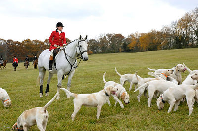 Huntman and foxhounds in the Bluegrass region of Kentucky, USA for the first hunt of the season following the Blessing of the Hounds event at the Iroquois Hunt Club.