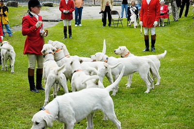 Hounds waiting for treat from the Huntsman at the annual blessing of the fox hunting hounds, horses, and riders at the Iroquios Hunt Club in Lexington, Kentucky USA. The event marks the beginning of the hunting season.