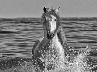 Andalusian stallion, Santa Barbara