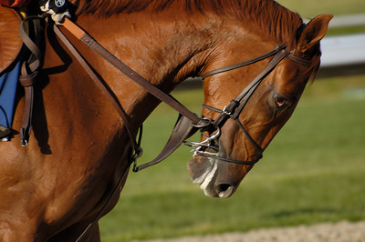Stock image of the closeup of the head of a thoroughbred horse running and straining against the bit during its early morning exercise at the Keeneland track in Lexington Kentucky USA