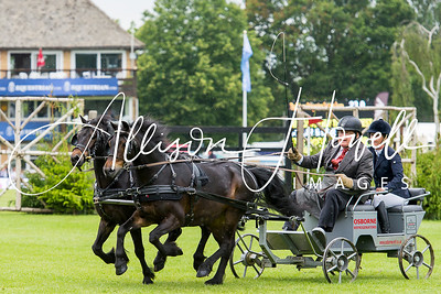 Driving  dark bay ponies 2015