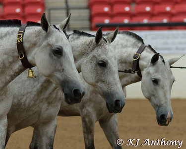 On Saturday September 3, The PRE National Celebration of the Pure Spanish Horse Show, held their Performance Classes and Crowned Champions.  Classes included a three mare cobra, native tack and attire, pleasure driving, and a musical freestyle challenge.