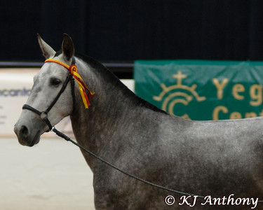 The PRE National Celebration of the Pure Spanish Horse Show brought Antaviana to Las Vegas.  Antaviana  is a beautiful mare, who was imported from the farm of Can Maynou Yeguada in Barcelona, Spain   Antaviana is the 2011 Raffle Horse, who is in foal to Pagano MAC.  The raffle drawing will be on Thanksgiving Day 2011.