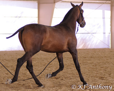 Santo ADP is a Pure Spanish bay yearling colt, who was born April 27, 2010.  Santo ADP was at the 2011 The PRE National Celebration of the Pure Spanish Horse Show in Las Vegas.