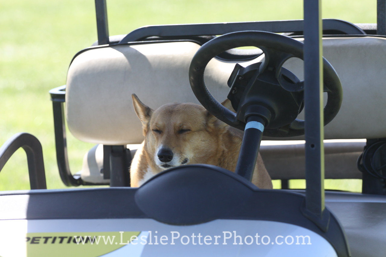 Corgi Driving a Golf Cart