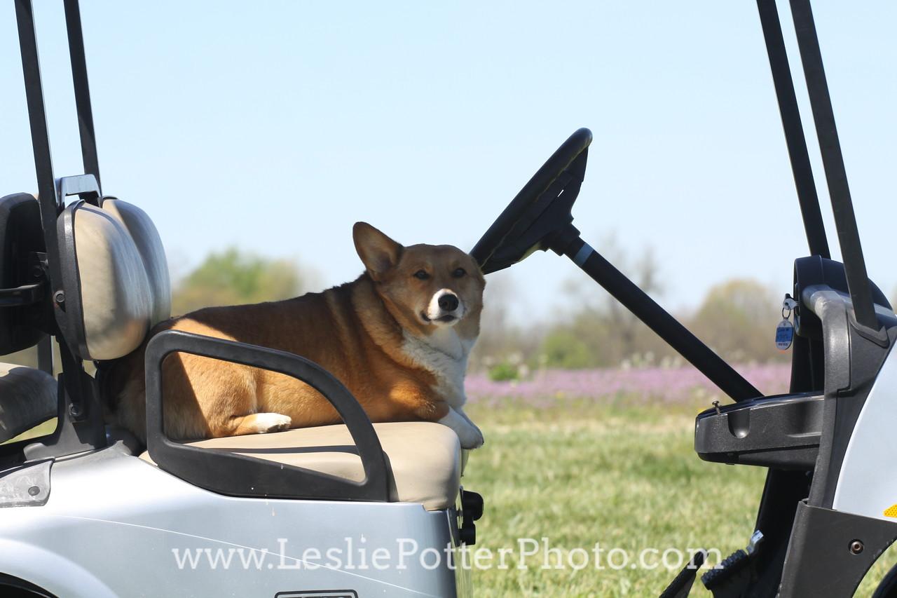Corgi Driving a Golf Cart