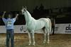 54. Belino De Piboul, Racing Stallions