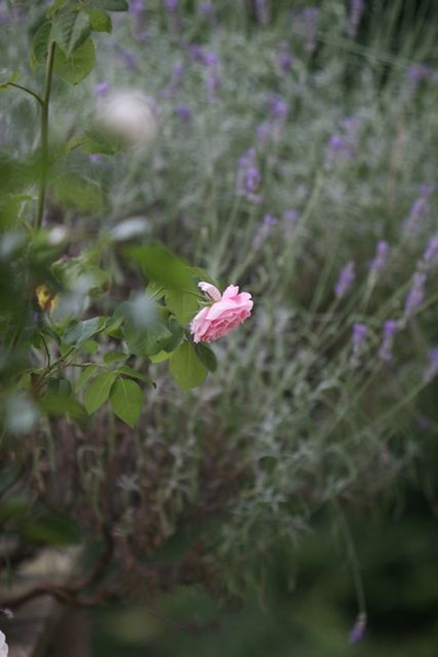 A rose among the wild flowers