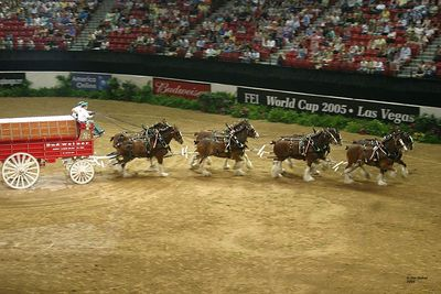The Budweiser Clydesdales Team puts on an impressive demonstration.