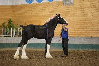 DP1X9972_1604 Clydesdale