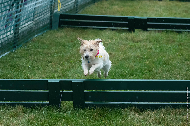 MontpelierHuntRaces-Terriers-3