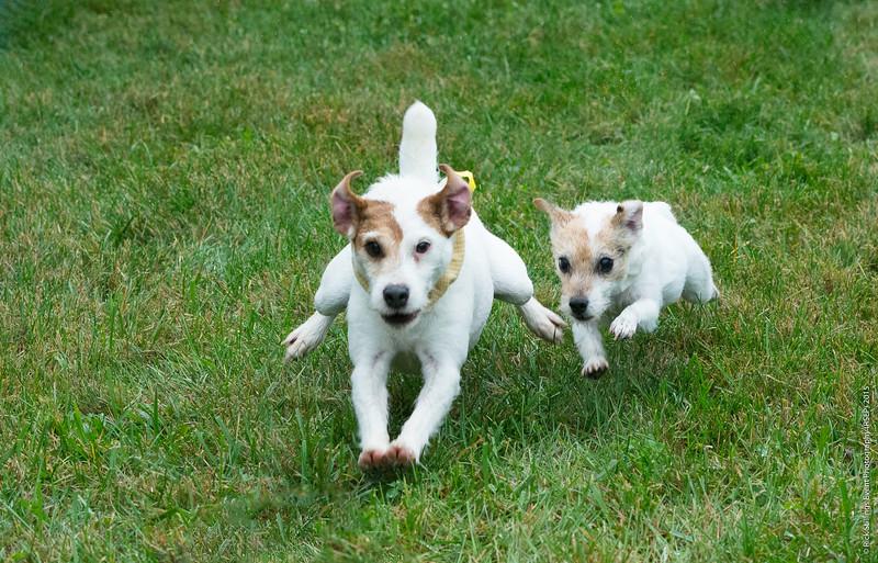 MontpelierHuntRaces-Terriers-1