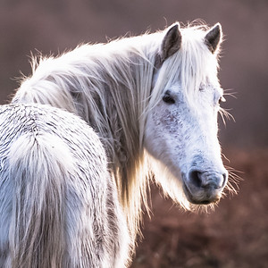 New Forest Ponies-1025