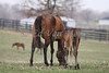 Mares and foals at Longfield Farm. Prospect, KY. 03.20.2010