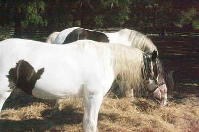 Gypsy Vanner Horses