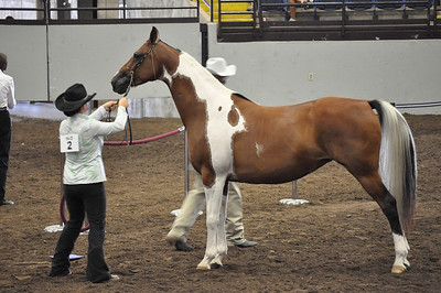 Showmanship 15 & Over Saddle Type