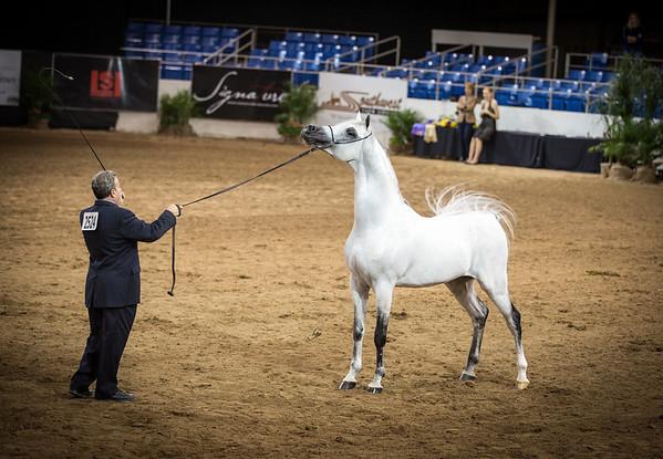 Senior Champion Stallion