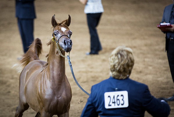 Weanling Champion Filly