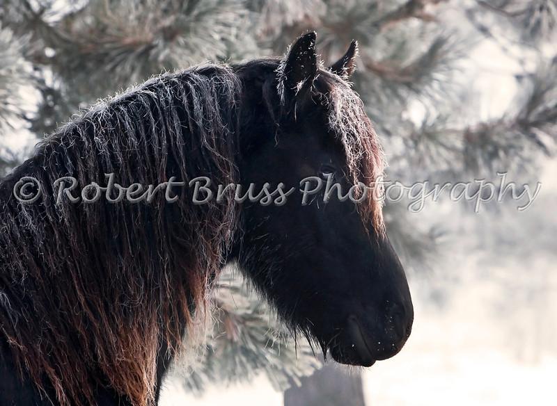 Friesian Stallion Henk in Frozen Fog