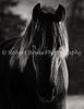 Snow Reflection - Friesian Stallion Head Study