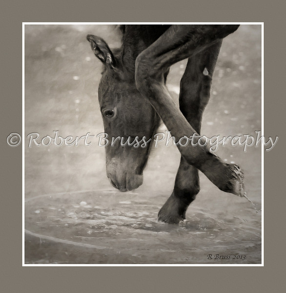Learning About Water - Friesian Colt at Four Days Old