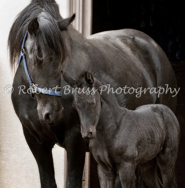 """Stay By My Side"" Sytsje & filly foal Griet"