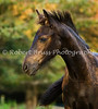 Lotje's Fall Colors - Friesian foal