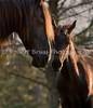 Friesian Mare Martzen and Lotje - Morning Light