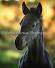 Lysbeth - Friesian foal head study